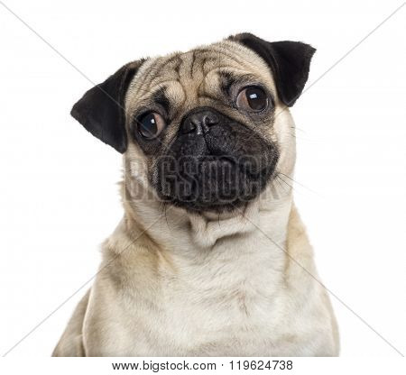 Close up of a Pug looking at the camera, isolated on white (1 year old)