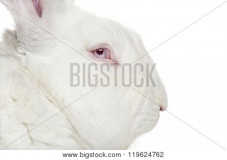 Profile of a Flemish Giant Rabbit looking at the camera, isolated on white (2 years old)