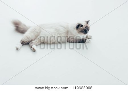 Pretty Cat Lying On The Floor At Home
