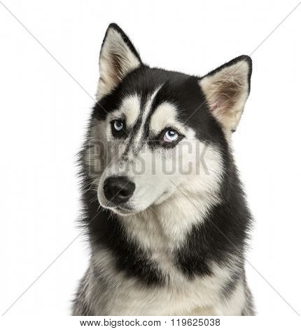 Close-up of a Husky in front of a white background