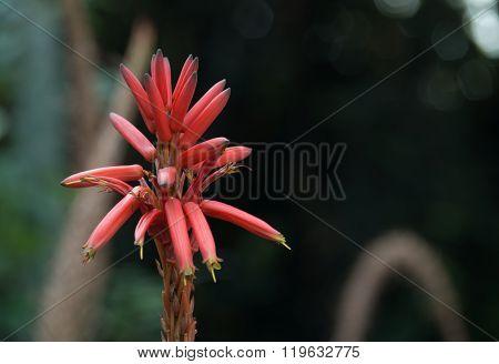 Erythrina Americana Miller, Colorín, Mexican Colorín