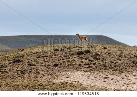 guanaco in patagonian landscape, patagonia, argentina, south america