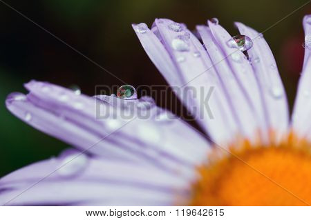 waterdropson the purple daisy