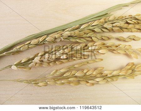 Rice panicles