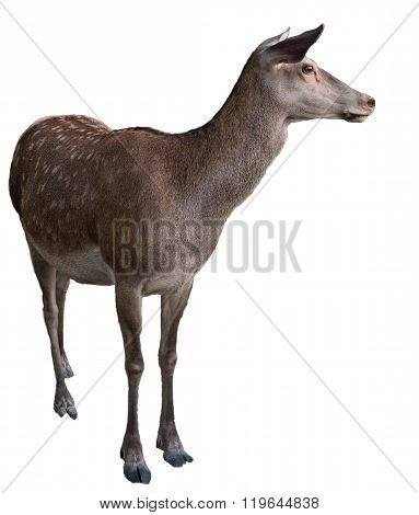 Wild Animal Deer