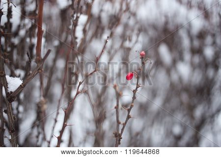 Red Berry Barberry In Winter
