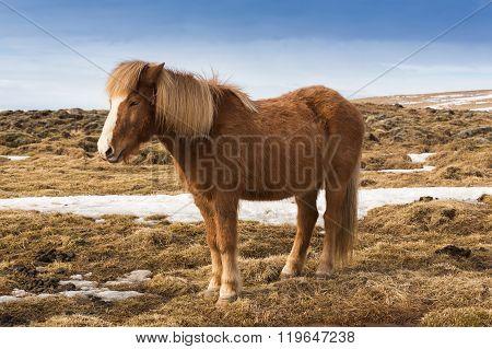 Icelandic pony over dry grass