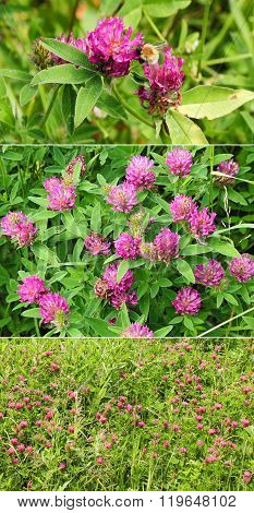 Summer Field Of Blossoming Red Clover