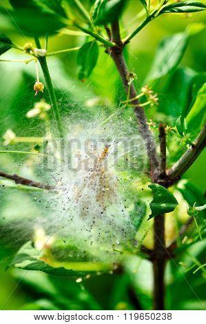 Caterpillars Cocoon On The Bush