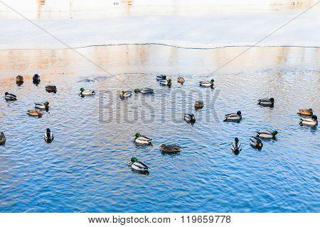 Ducks Float In Clearing Of Frozen Lake In Winter