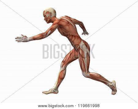 muscle man , male Body Anatomy
