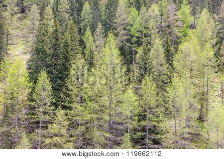 Coniferous Forest In Spring Time