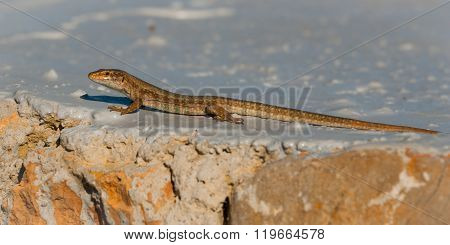 Ibiza wall lizard sunning himself on a painted rock near shore, Ibiza, Balearic Islands, Spain.