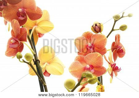 Orchid Inisolated On White Background, Close Up