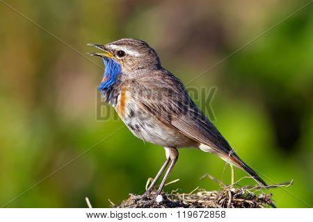 Bluethroat bird sings