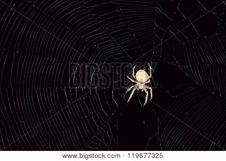 Araneus Spider Hunts At Night