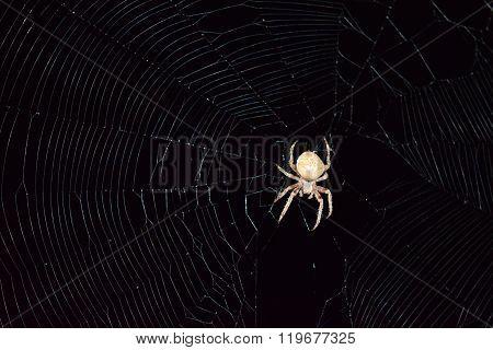 Araneus Spider Hunts At Night