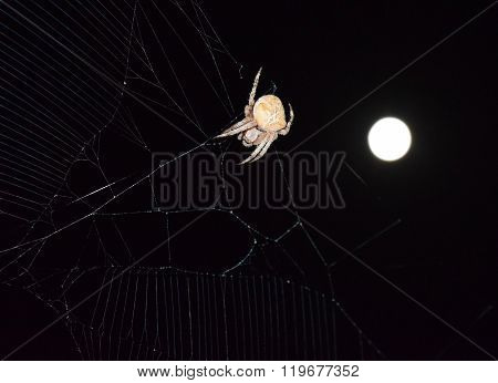 Araneus Spider On Background Of The Moon