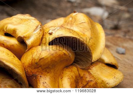 Mushroom Fugus