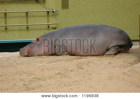 Tired Hippopotamus