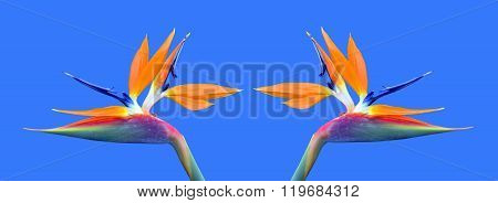 Bird of paradise Latin name Strelitzia reginae flowers
