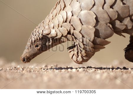 Pangolin looking for ants in the Kalahari
