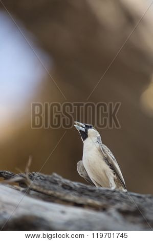 Sociable weaver bird in a tree in namibia ** Note: Visible grain at 100%, best at smaller sizes