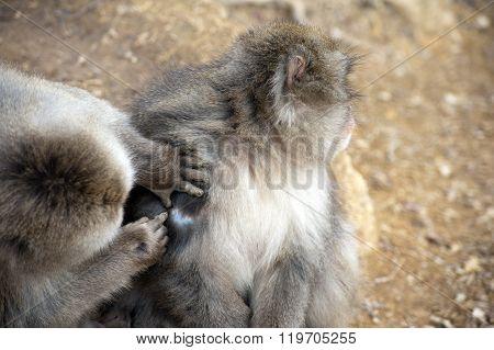 Friendly Monkey Preening Friend