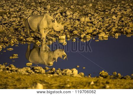 Black Rhino drinks at a flood lit waterhole