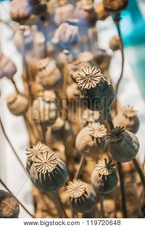 Closeup Dry Opium