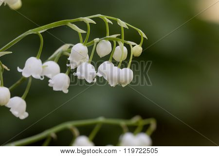 Lily of the valley. Flower. Wood.