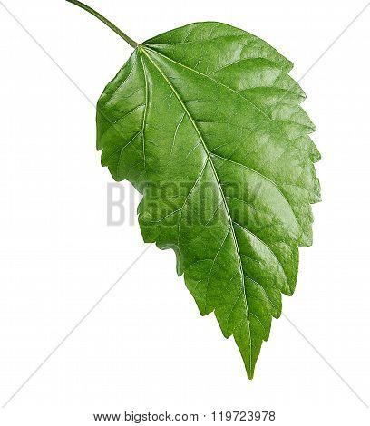 Leaf Sudanese rose
