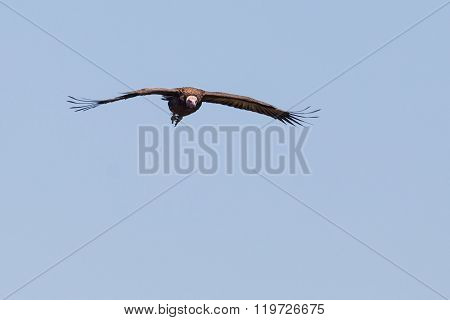 Vulture flying through a clear sky in Zimbabwe.