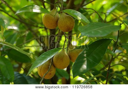 Nutmeg growing on tree