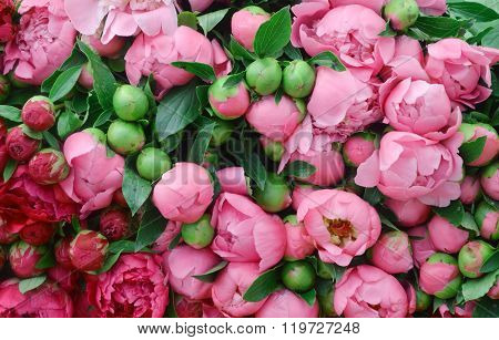 Lots of pretty and romantic violet and pink peonies in floral shop
