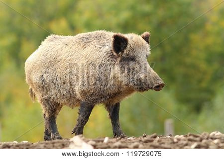 Big Wild Boar Near The Green Forest