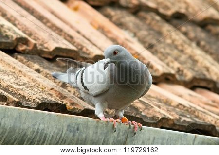 Domestic Pigeon On House Roof