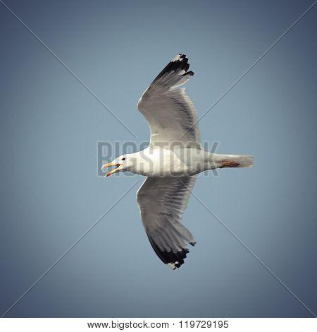 Flying Caspian Gull