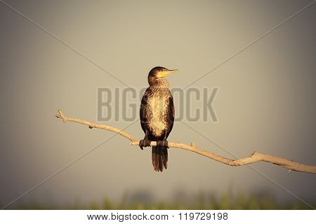 Great Cormorant On Branch