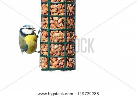 Isolated Hungry Blue Tit