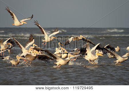 Wild Flock Of Great Pelicans Taking Flight