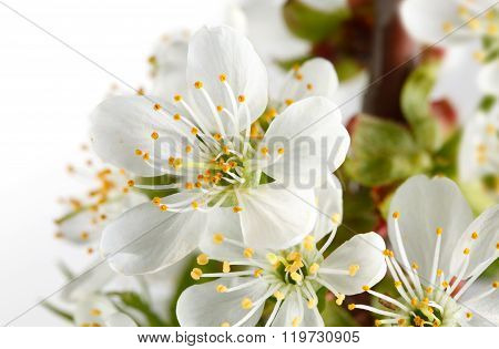 Macro Of Cherry Blossoms