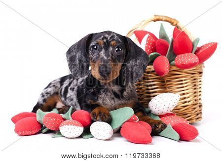 Dachshund puppy and flowers