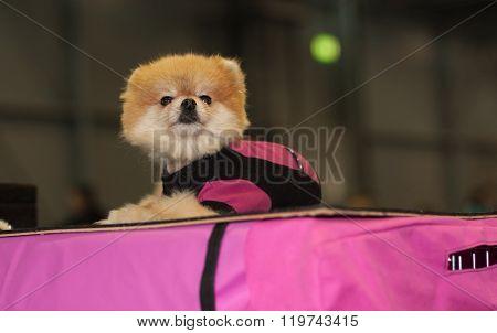 Pomeranian Spitz Dog Sitting On Pink Podium