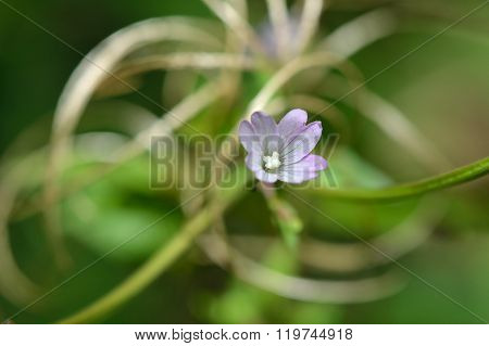 Broad-leaved willowherb (Epilobium montanum)