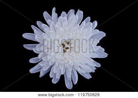 white chrysanthemum flowers isolated on black background