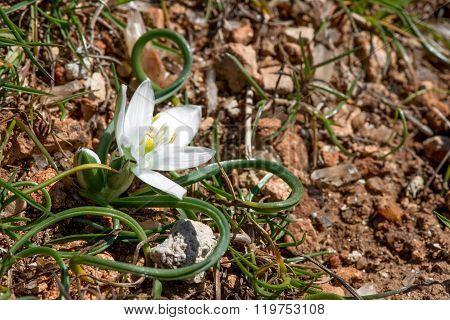 White Flowers And Buds Of Ornithogalum Umbellatum (star-of-bethlehem)