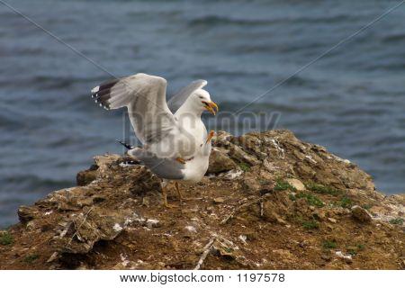 Copulation Of Seagulls