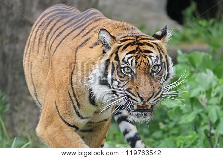 Sumatran Tiger snarls. Close-up.