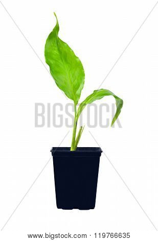 Young Spathiphyllum Plant